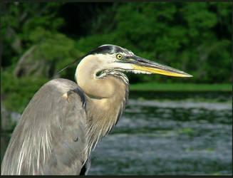 Great Blue Heron by SilverCoils