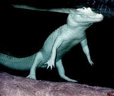 Albino Alligator by btraid