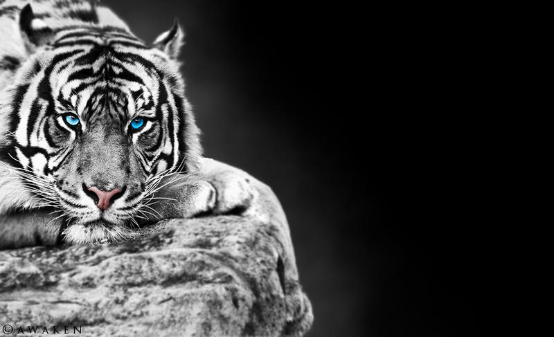 white tiger background by silentdesolation on deviantart