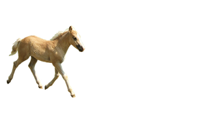 Haflinger Foal precut 1