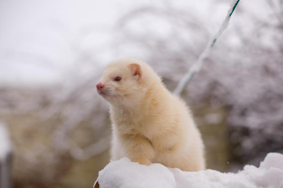 snow ferret by sleepsoftbeautiful on DeviantArt