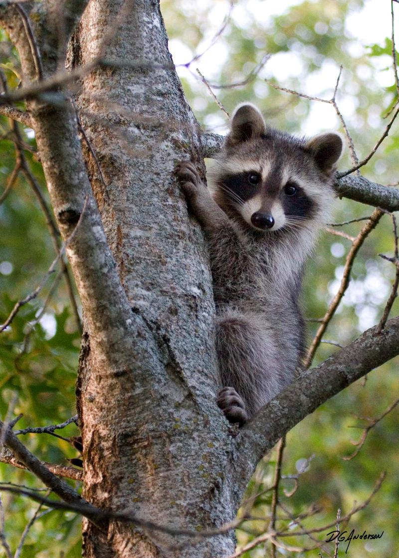 Baby Raccoon II by DGAnder