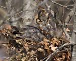 Great Horned owl 7017