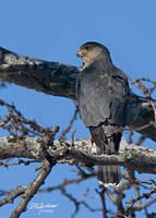 Winona coopers hawk by DGAnder