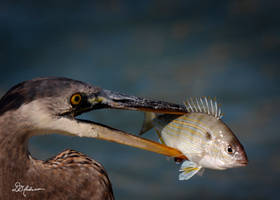 Blue Heron with lunch by DGAnder