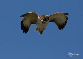 Hawk diving at other hawk by DGAnder