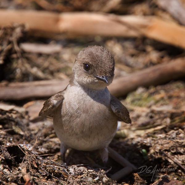 Swallow    sooo cute by DGAnder