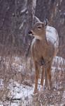 Snow deer I