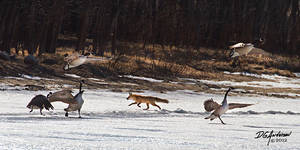 Ice, Fox and canada geese
