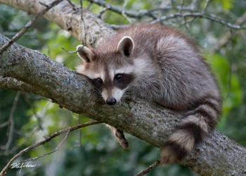 Baby Raccoon by DGAnder