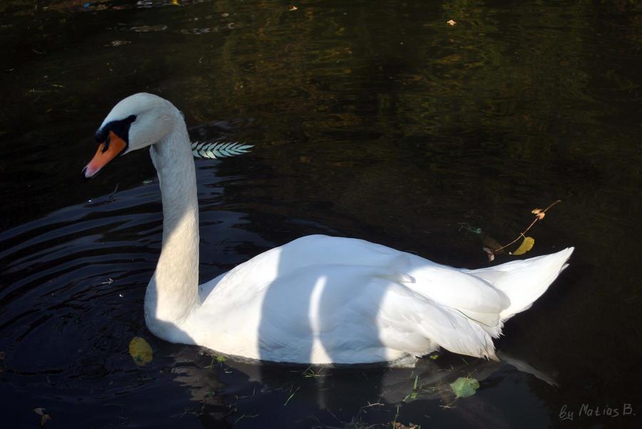 Beauty swan by MatiasBloodbones