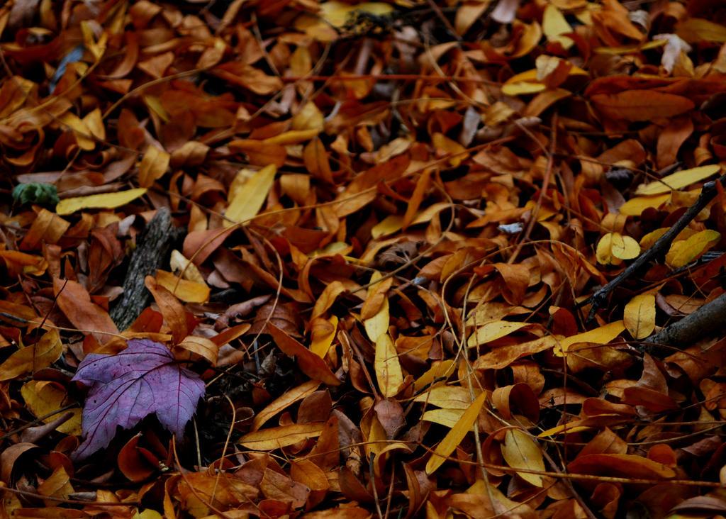 Maroon Leaf by coffeenoir