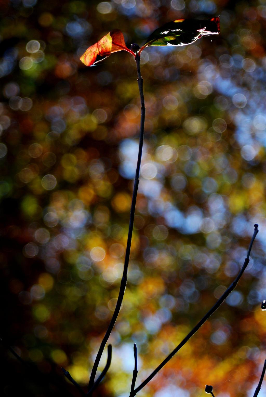 Last Dogwood Leaves by coffeenoir