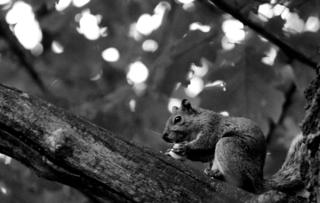 Squirrel B and W by coffeenoir