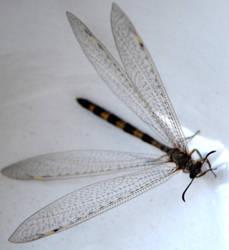Dragonfly 3 by coffeenoir