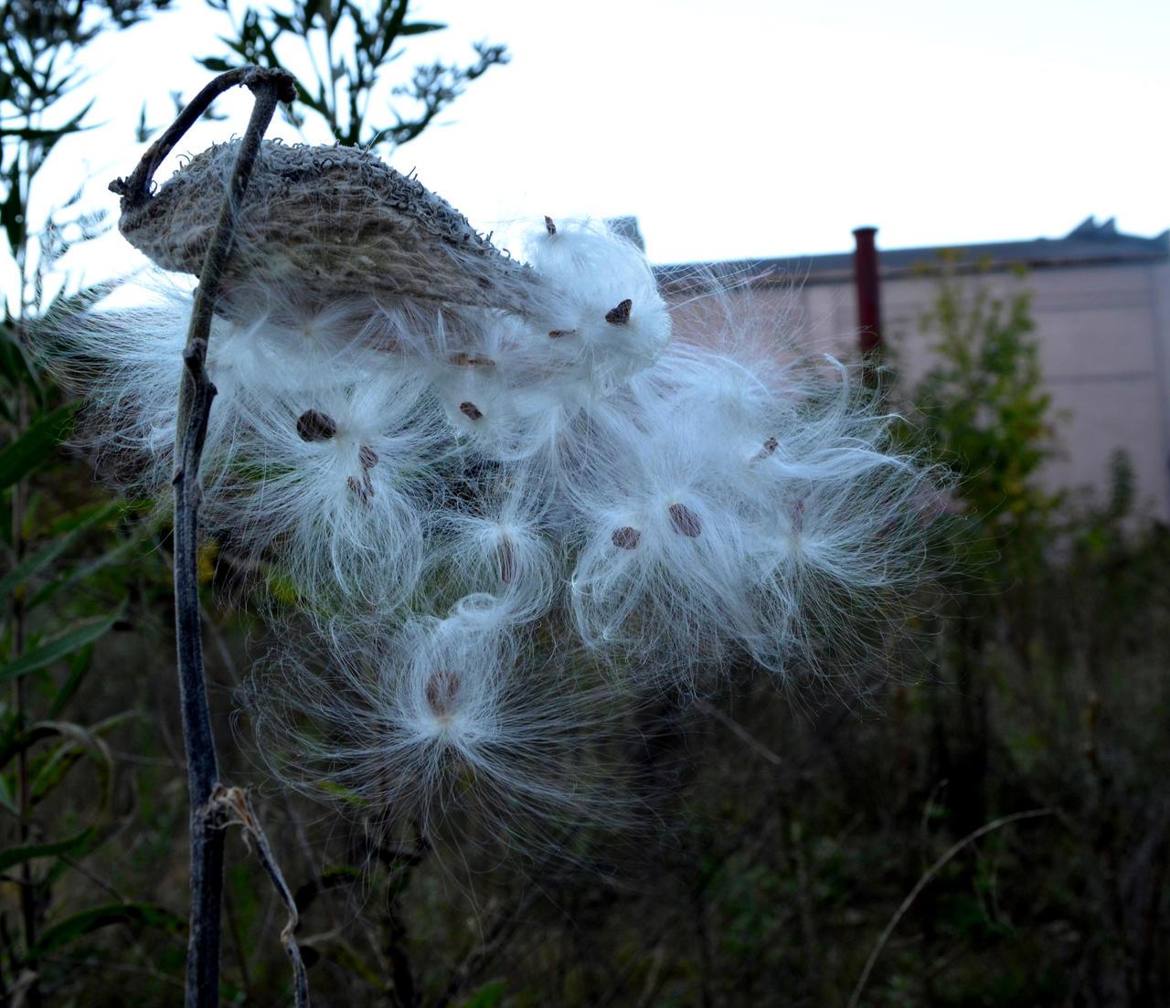 Milkweed by coffeenoir
