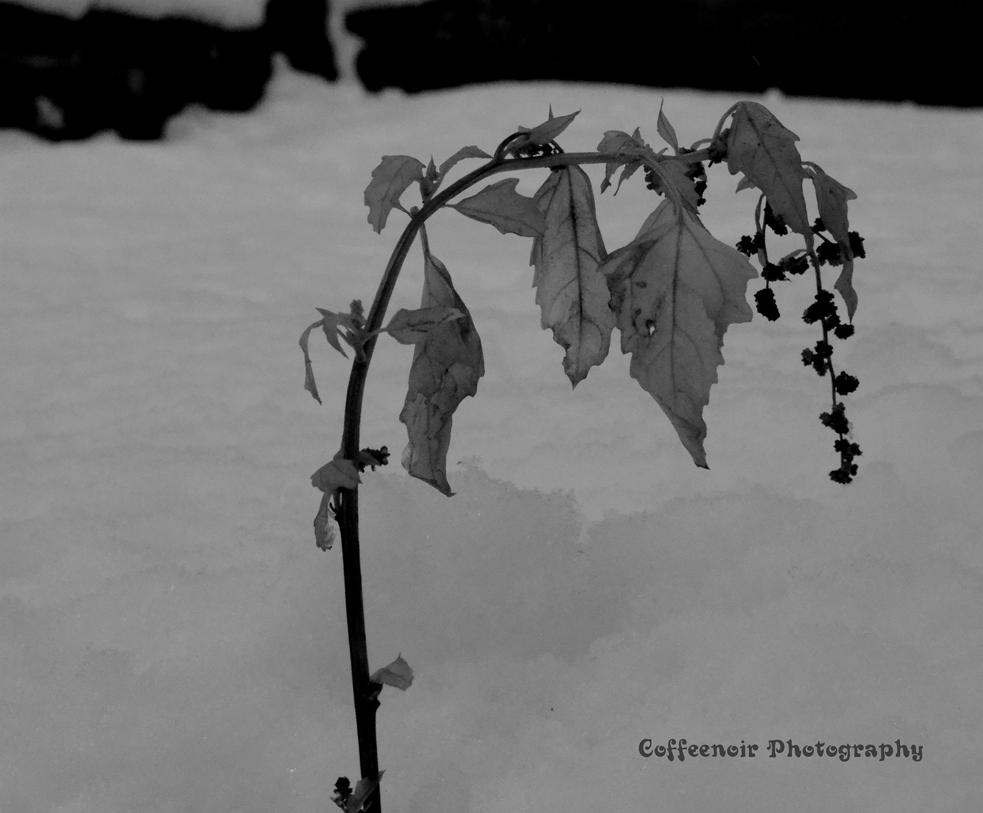 Winter Sprout b and w by coffeenoir