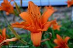 Tiger Lilys in June