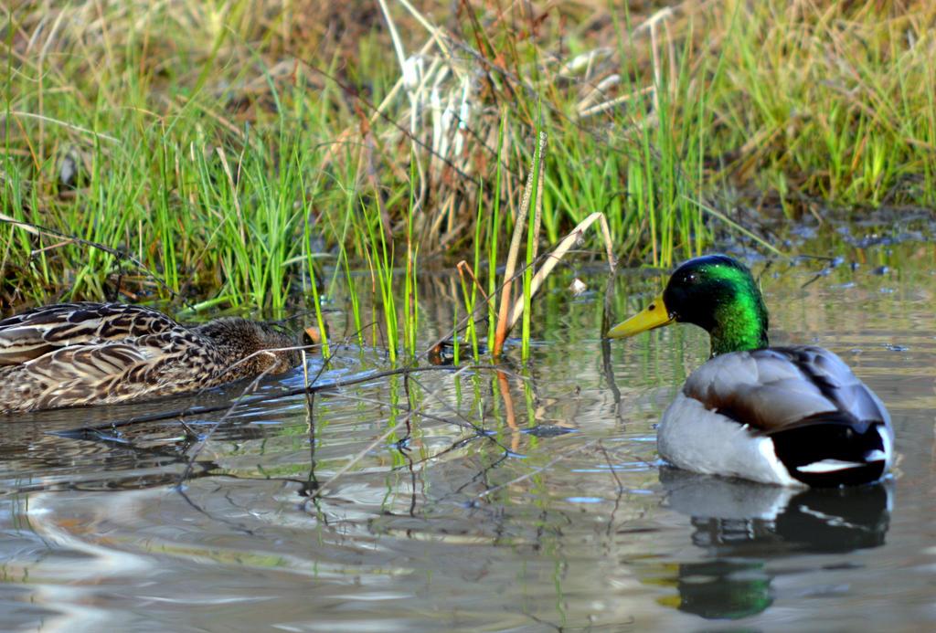 Ducks on a Pond by coffeenoir