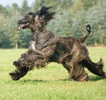 Coursing Afghan Hound
