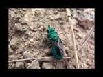 Cukoo Wasp