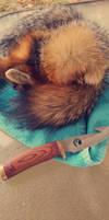 fox pelt
