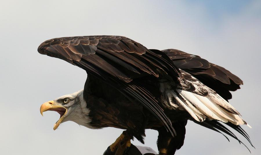 eagle 1 by Kristinaphoto