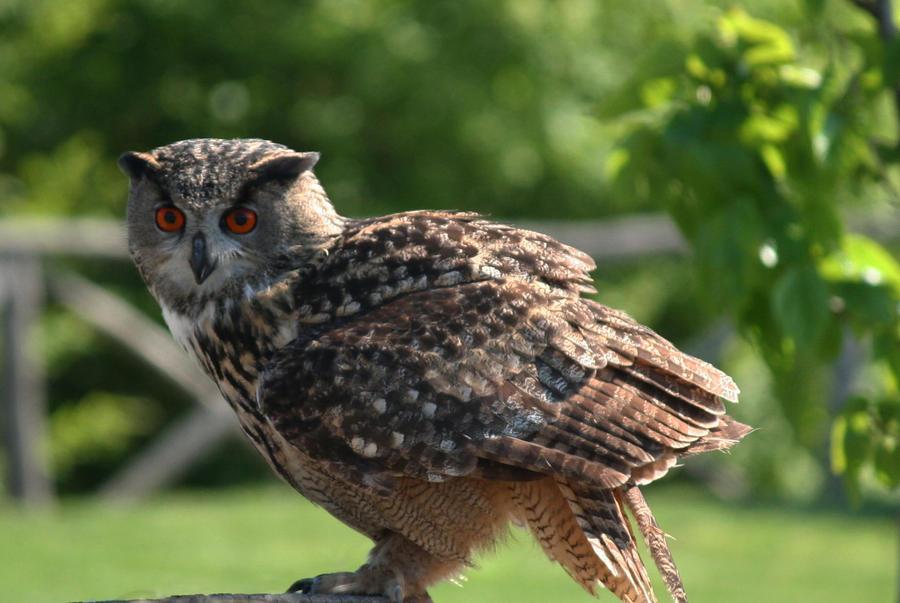 owl7 by Kristinaphoto