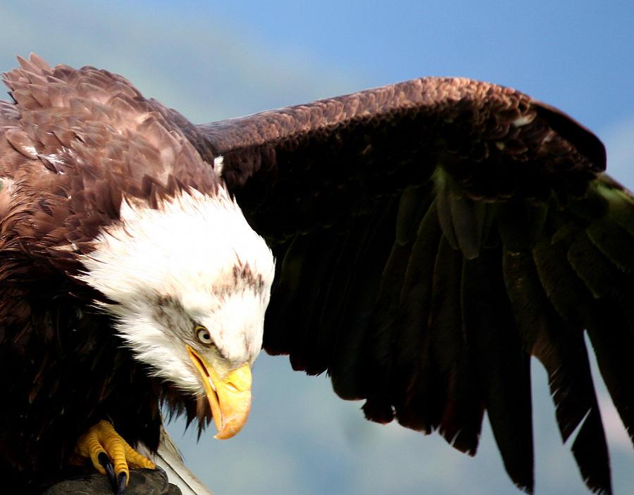 eagle 2 by Kristinaphoto
