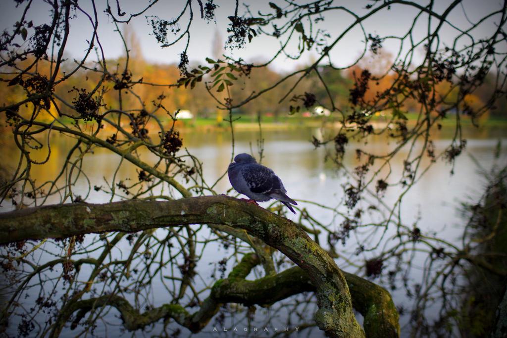 the parisian pigeon by alahay