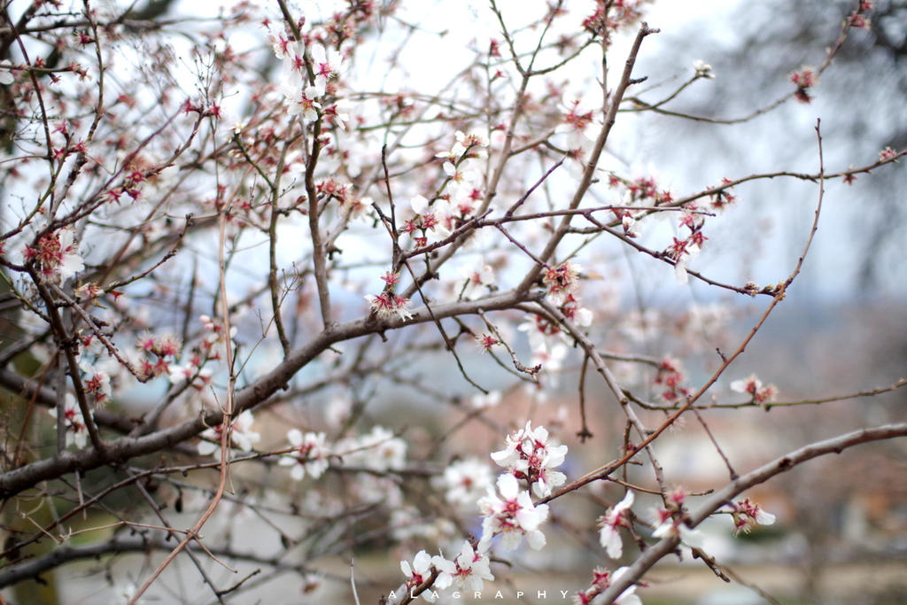 spring announced with almond blossoms by alahay
