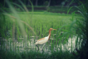 in the rice fields by alahay
