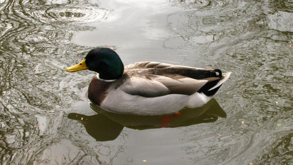 duck duck goose 1 by clickypenpixieXstock