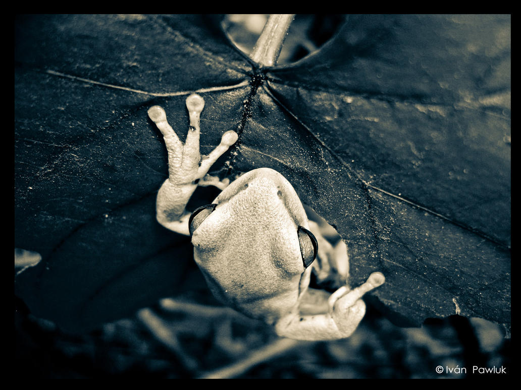 photo: albino frog by ipawluk