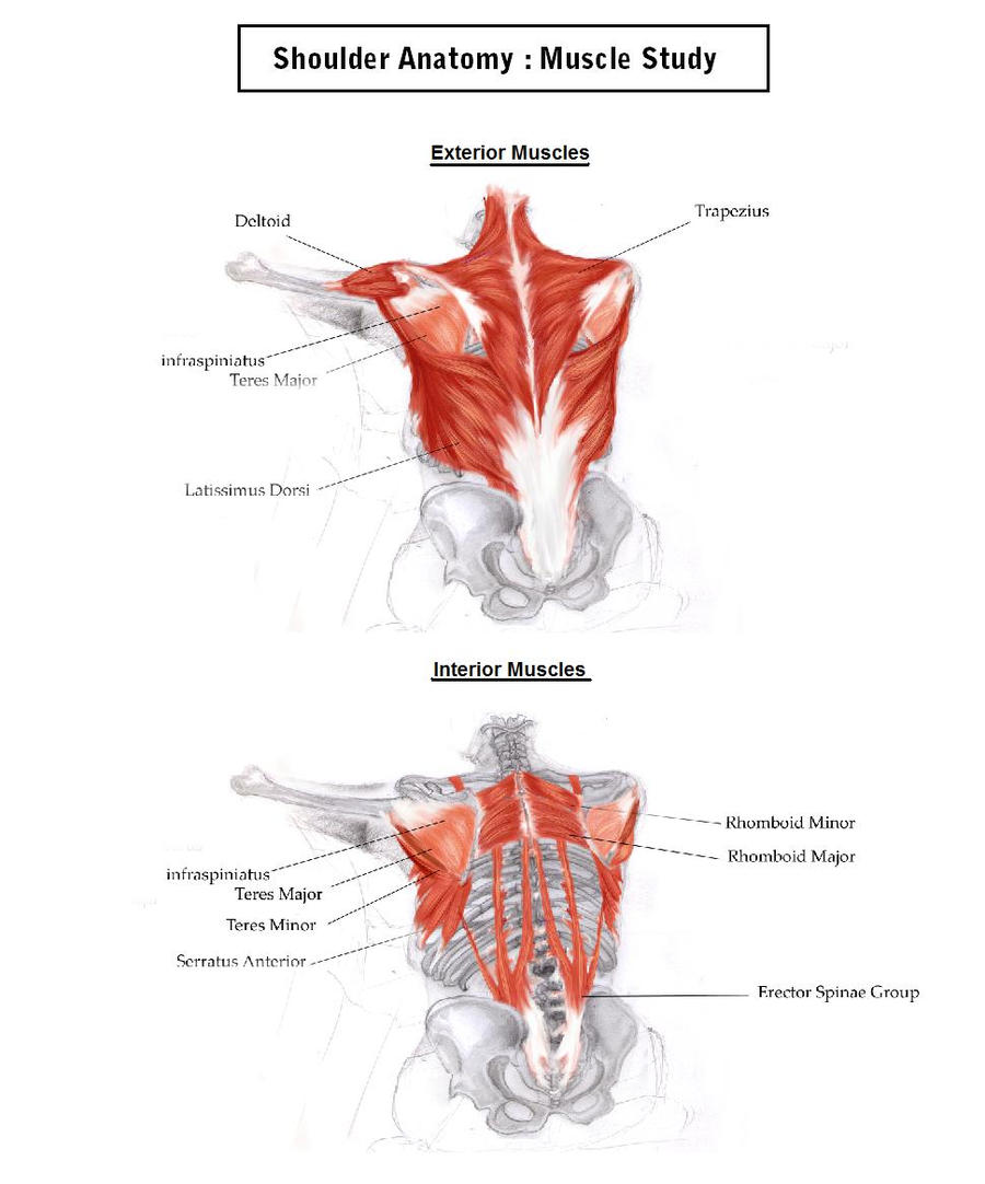 shoulder anatomy study: muscles breakdown by iridescencysky on, Muscles