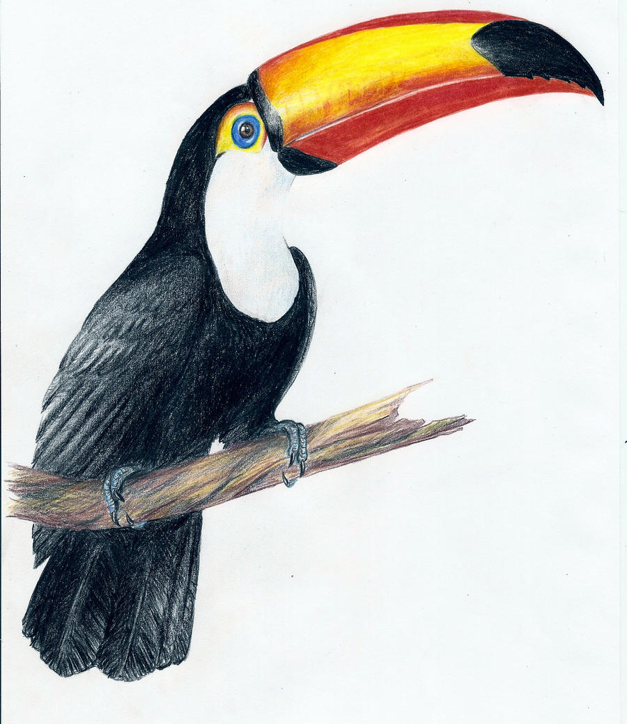 Toucan Bird Drawing How to draw toco