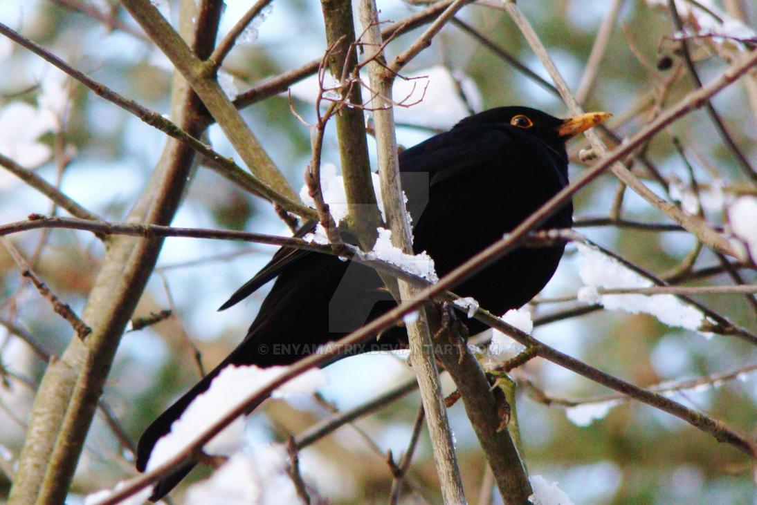 Common blackbird by Enyamatrix
