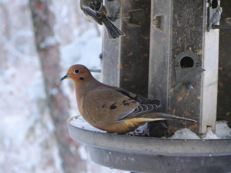 Mourning Dove (2)