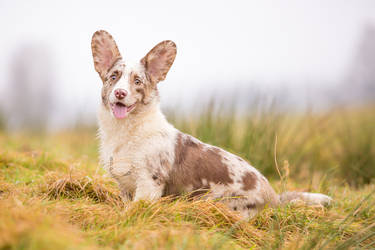 Dom Corgi Ambergris - a rare Red Merle Corgi by BlackPepperPhotos