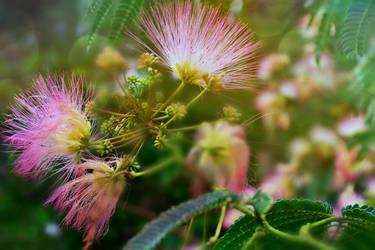 Majestic Mimosa Tree by suezn