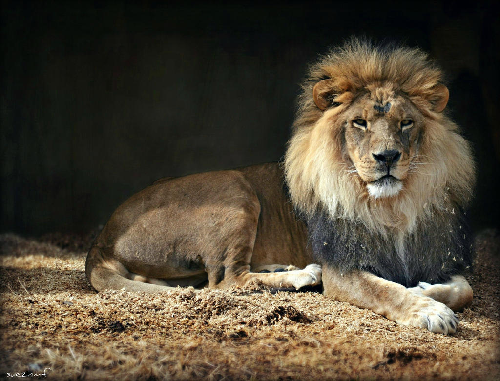 Lion To You by suezn