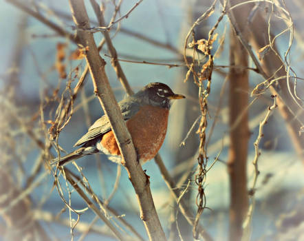 The Robin Brings Spring