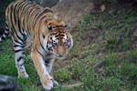 Tiger's Path by suezn