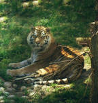 Tiger Zone