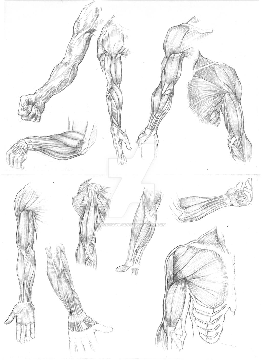 Arm Muscle Studies 01 by  Arm Muscles Drawing