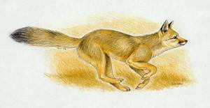 Bengal fox by Grey-Imber