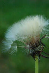 Dandelion. by loserwithaguitar11