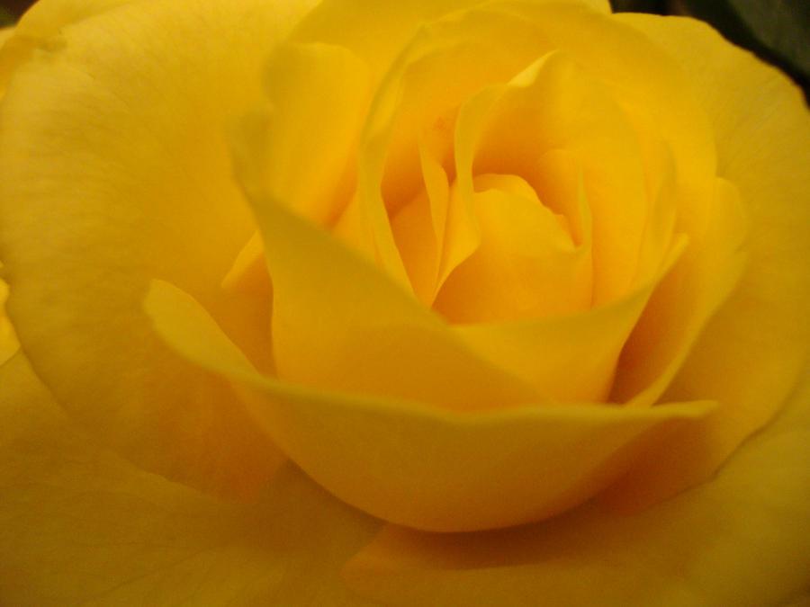 Roses 1 by alwayslovesunshine