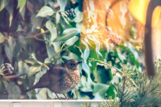 Birdie in ivy