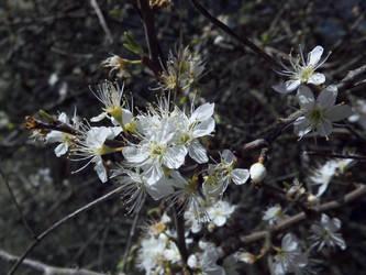 Blackthorn Blossoms Closeup by rattus-bavariae